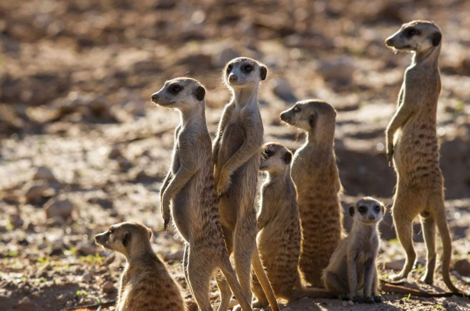 Meerkat Interaction - Discovering Africa