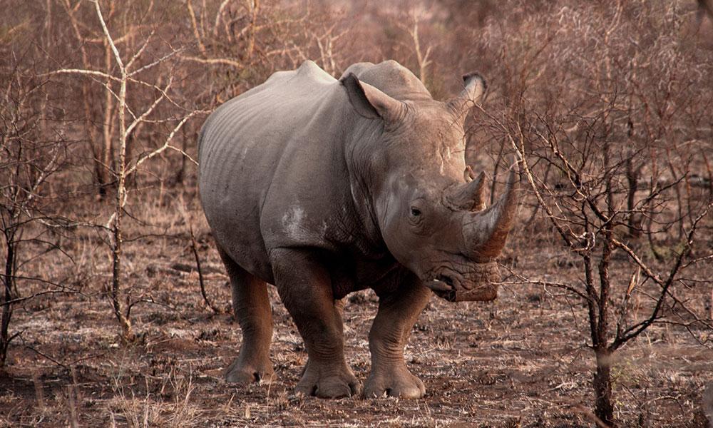 White Rhino - Kruger