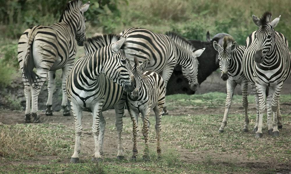 Plains Zebra - Kruger
